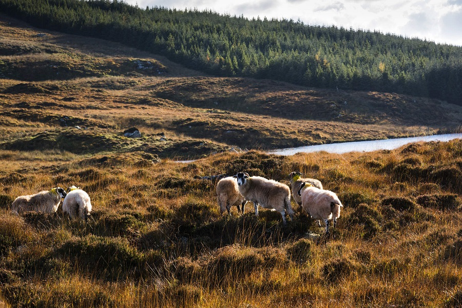 Les moutons Irlandais