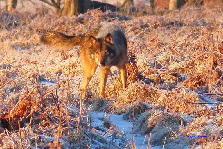 Voici de nouvelles photos du loup qui rôde dans nos Hautes-Fagnes !