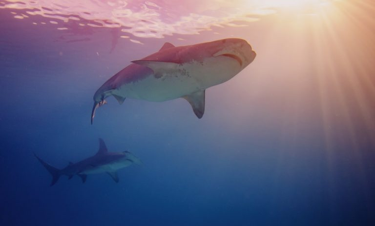 5 mythes sur les attaques de requin
