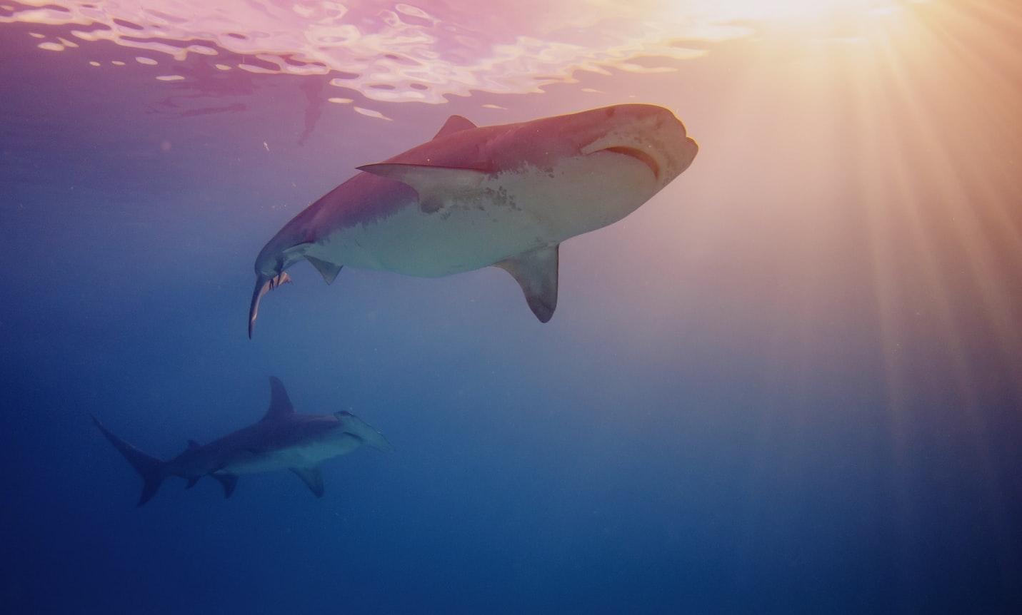 5 mythes sur les attaques de requin :